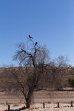 Cape Crow in Kgalagadi, South Africa Royalty Free Stock Photo