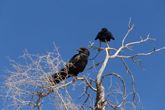 Cape Crow in Kgalagadi, South Africa Stock Images
