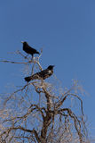 Cape Crow in Kgalagadi, South Africa Royalty Free Stock Photography