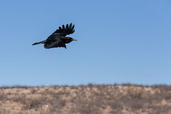 Cape Crow in Kgalagadi, South Africa Stock Photography