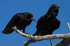 Cape Crows Stock Images