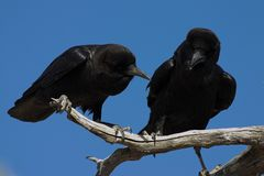 Cape Crows Royalty Free Stock Image