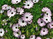 Cape daisies or Dimorfotecas. Set of Cape daisies or Dimorfotecas (Osteospermum fruticosum) in spring stock photography