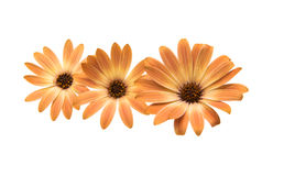 Cape daisies isolated on white background Stock Photography