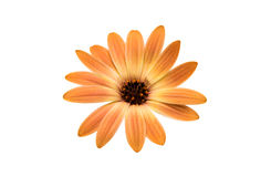 Cape daisies isolated on white background Stock Image