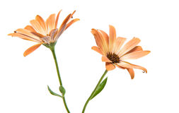 Cape daisies isolated on white background Stock Photos