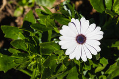 Cape daisy Royalty Free Stock Image