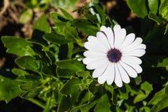Cape daisy Royalty Free Stock Image