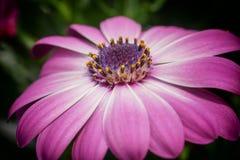 Cape daisy, Osteospermum. Flower of gardens stock image