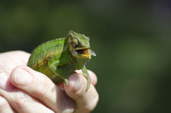 Cape Dwarf Chameleon Chewing a fly Royalty Free Stock Images