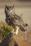 Cape Eagle Owl. (Bubo capensis) perched on a rock in South Africa Royalty Free Stock Photo