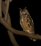 Cape Eagle Owl. Pirtched in a tree Stock Photo