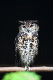 Cape eagle owl Stock Images
