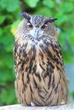 Cape eagle Owl Stock Photography