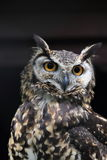 Cape Eagle-Owl Royalty Free Stock Photography
