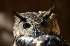 Cape Eagle-Owl (Bubo capensis) Stock Images