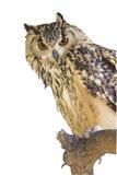 Cape Eagle Owl Bubo Capensis Stock Image