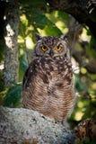 Cape Eagle-Owl (Bubo capensis) Stock Image