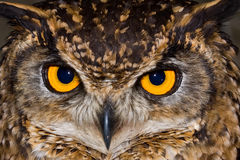 Cape Eagle Owl close-up. Close-up of a Cape Eagle Owl with large piercing yellow eyes Stock Photography