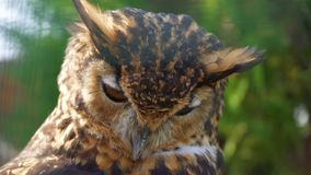 Cape Eagle Owl. Close-up view of Cape Eagle Owl stock video footage