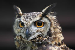Cape eagle owl. The detail of cape eagle owl royalty free stock photo