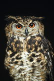 Cape eagle-owl Stock Image