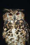 Cape eagle-owl. The gazing cape eagle-owl stock image