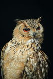 Cape eagle owl Royalty Free Stock Image