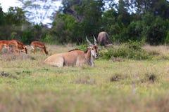 Cape eland at addo elephant Royalty Free Stock Photo
