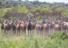 Cape Eland - African Antelope Stock Images