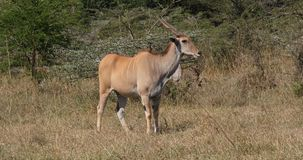 Cape Eland, taurotragus oryx, adult in the savannah, Nairobi Park in Kenya Real Time. 4K stock footage
