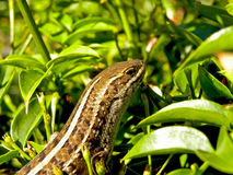 Cape Flat Lizard Royalty Free Stock Photo