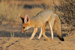 Cape fox Stock Photo