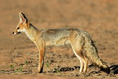 Cape fox Royalty Free Stock Photo