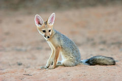 Cape fox Royalty Free Stock Photography