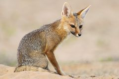 Cape fox Stock Image