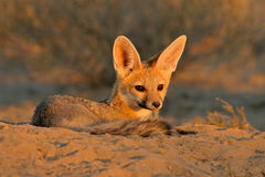 Cape fox. (Vulpes chama) resting in front of burrow, Kalahari, South Africa royalty free stock image