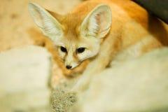 Cape fox. Hidden behind the rocks stock photography