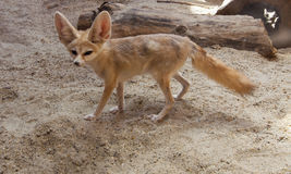 Cape fox on the desert Royalty Free Stock Image