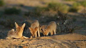 Cape fox family Royalty Free Stock Photos