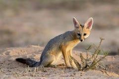 Cape fox, Kalahari desert. Cape fox (Vulpes chama) in early morning light, Kalahari desert, South Africa Stock Photos
