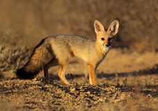 Cape fox, Kalahari desert, South Africa Stock Images