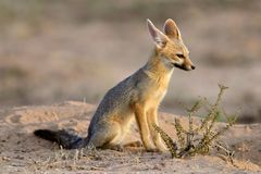 Cape fox, Kalahari, South Africa Royalty Free Stock Photo