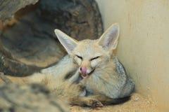 Cape fox Royalty Free Stock Photos