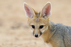Cape fox portrait Royalty Free Stock Photography