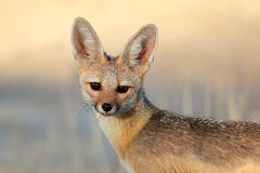 Cape fox portrait Stock Photo