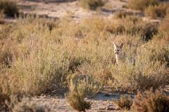 Cape Fox sitting outside den. stock photography