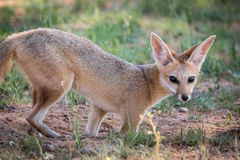 Cape fox starring at the camera. Royalty Free Stock Images