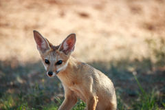 Cape fox starring at the camera. Stock Photography