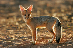 Cape fox (Vulpes chama) Royalty Free Stock Images